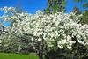 dare to bloom (ellyn writing) Tags: blossoms bloom vancouverisland britishcolumbia canada txeeptopaz