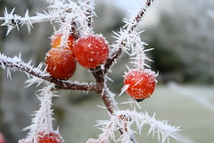 Hoar frost (No_Mosquito) Tags: ice needles frost hoar winter cold canon macro nature apple tree powershot red colour g7x austria country ngc freezing bokeh