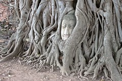 Ayutthaya - Wat Mahathat - Buddha Head Surrounded by Tree Roots (zorro1945) Tags: watmahathat ayutthaya thailand asia buddhaimage buddha buddhism buddhahead tree treeroots temple wat ruinedtemple ruins history 1374