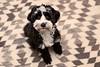 Poppy (MikeWeinhold) Tags: poppy dog dogportrait black white carpet 6d speedlite430exii