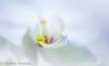 White light of Winter (frederic.gombert) Tags: orchid orchidee flower flowers white color cloud colors plant garden macro bunch nikon d810 e de