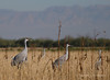 Sandhill Cranes in field (Robyn Waayers) Tags: sandhillcranes saltonsea imperialcounty california robynwaayers