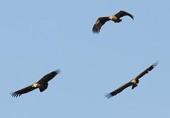 Vale Gier - Gyps fulvus - Griffon Vulture (merijnloeve) Tags: vale gier gyps fulvus griffon vulture bleskensgraaf giessenburg alblasserwaard nederland zuidholland vogel vogelen vogels birding rare zeldzaam ducthbirding dutch gieren polder het broek