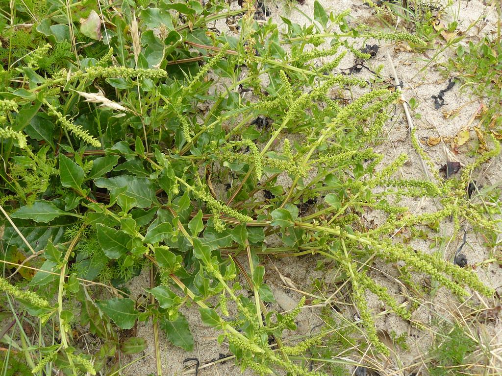 Beta vulgaris ssp. maritima-Wilde Rübe3