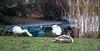 Allen geht es gut: Jungschwan und Alttiere am kleinen Weiher (S. Ruehlow) Tags: frankfurt palmengarten botanischergarten natur westend alttier jungtier schwan schwäne weiher wasser eis eisfläche cygnini