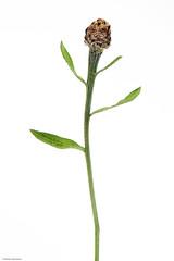 Knospe Farbe (rainerneumann831) Tags: wiesenblume linien knospe blüte pflanze natur focusstacking weiserhintergrund