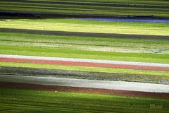 _UM23256nsR (Foto Massimo Lazzari) Tags: castelluccio piangrande norcia umbria paesaggi fioritura lenticchie papaveri fiordaliso fiori