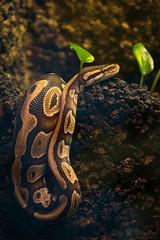 Ball python (Cloudtail the Snow Leopard) Tags: python königspython schlange tier animal snake reptil regius royal ball zoo stadtgarten karlsruhe