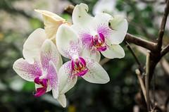 026_IMG_9672 (Sandra González Osorio) Tags: naturaleza nature orchid orquídea plant planta