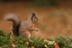 Wheres me pianer gawn??? (Louise Morris (looloobey)) Tags: aq7i2806 redsquirrel dark sciurrusvulgaris gordon nigel november2016 woodland hide autumnal leaves moss