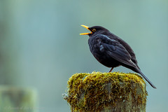 A cappella (P & Y Photography) Tags: nature animal bird portrait blackbrid black green bokeh singing acappella moss woods feather post canon 6d 100400