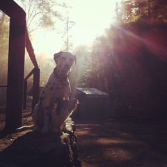 Good Morning  #la_vida_colorista #dog #dogs #hund #hunde #dalmatian #Dalmatiner #dalstagram #dalmatianlove #dalmatian_central #dalmatiansofinstagram #dalmatians_of_instagram #chi #chihuahua #chihuahualove #chihuahuasofinstagram #cutedogs #dogofthed (Clarissa Scheffler) Tags: square squareformat rise iphoneography instagramapp uploaded:by=instagram