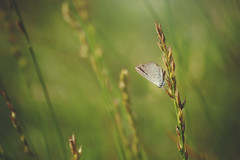 Delicate Beauty (Tammy Schild) Tags: summer macro green nature field grass closeup butterfly insect depthoffield