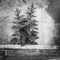 Growing near the parkway... (i2pixel) Tags: urban blackandwhite texture blancoynegro nature monochrome bnw