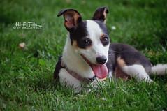 Essie (Hi-Fi Fotos) Tags: portrait pet cute face grass animal tongue happy nikon expression small canine tiny pup essie d5000 hallewell hififotos