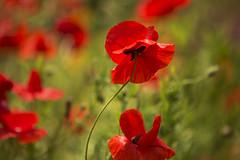 poppy field (irina_escoffery) Tags: