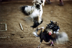 26-157 (ndpa / s. lundeen, archivist) Tags: bali color bird film birds 35mm indonesia 26 nick cock arena southpacific rooster cocks 1970s 1972 roosters indonesian cockfight gamecock gamecocks balinese dewolf oceania pacificislands cockfighting nickdewolf photographbynickdewolf cockfightingarena reel26 cockfightarena