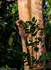 Solo Sagrado (drbotelho30) Tags: nature animal natureza solo macaco animais sagui selvagem sagrado