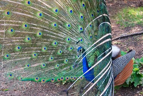 The Peacock Responds