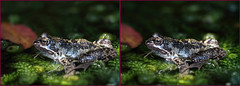 3-D Frog in the pond #1 (Lord V) Tags: 3d amphibian frog