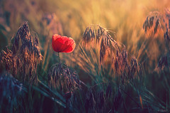 Last rays (Psztor Andrs) Tags: sunset sunlight flower nature field photography nikon hungary poppy andras pasztor d5100