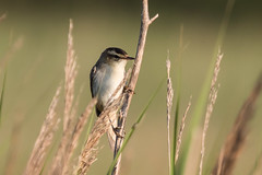 Sedge Warbler-9054 Explored (WendyCoops224) Tags: morning canon eos early suffolk walk dingle birdsong explore serenity marsh 70d 100400mml ©wendycooper