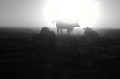 Variationen ber Rinder beim Sonnenaufgang; Norderstapel, Stapelholm (3) (Chironius) Tags: morning sunrise dawn diverse alba amanecer dmmerung sonnenaufgang morgen tier ochtend matin  morgens zonsopgang mattina aube morgendmmerung morgengrauen dageraad