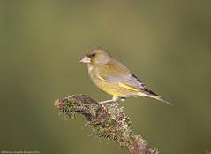 Verdilhão // Carduelis Chloris // Greenfinch (Jangada2011) Tags: verdilhão carduelischloris greenfinch