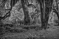 Mirkwood Forest (Philip Kuntz) Tags: bw blackandwhite monochrome hohrainforest hallofmossestrail mirkwoodforest thehobbit jrrtolkien forests woodland olympicnationalpark washington