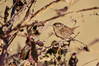 Lasserre, route du col de Pause (Ariège) (PierreG_09) Tags: ariège pyrénées pirineos couserans lasserre coldepause faune oiseau troglodytemignon troglodytestroglodytes eurasianwren passériformes troglodytidés chochíncomún zaunkönig peukaloinen seix