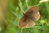 Bruin zandoogje - Pyronia tithonius (henk.wallays) Tags: aaaa arthropoda aphantopus aphantopushyperantus braunerwaldvogel butterfly edelfalter engrandøje falter gullringvinge halkacık henkwallays insect iperanto közönségesökörszemlepke lepidoptera luktgräsfjäril mariposa nature nymphalidae okáčprosíčkový očkáňobyčajný parastaissamtenis przestrojniktrawnik ringlet rohusilmik schmetterlinge sortijitas tagfalter tamsusissatyras tesmaperhonen tristan vlinders zandoogjes butterflies closeup dagvlinder insecta insecte insekt koevinkje lepidoptere macro natuur papillon skubvlerkiges sommerfugl vlinder wildlife ô·tia̍p πεταλούδα дневнитепеперуди лускакрылыя тәңкәҡанатлылар күбәләктәр матылі