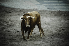 bull.. (ckollias) Tags: animalthemes bull bullfightinthestreets bullfighting bulls castello castellóndelaplana day domesticanimals livestock mammal nature nopeople oneanimal outdoors portrait spain toro