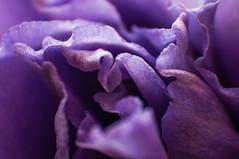 _DSC1532 (KateSi) Tags: flowers fleurs flores flower fleur blom blomster flor plant plants macro purple morado lilla violet nikon nikond90 depthoffield