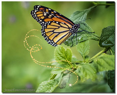 First Flight (jeannie'spix) Tags: glitter monarch monarchbutterfly backyard butterfly