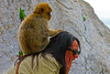Wild Barbary Groomer! (Trevor Jolley) Tags: barbarymacaque hairgrooming gibralter help gibraltermonkey
