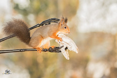 ready to attack (Geert Weggen) Tags: nature animal red closeup cute plant funny happy ground bright light branch yellow up look mammal rodent squirrel fall autumn black skeleton arm hand bones massage attack geert weggen hardeko bispgården jämtland sweden