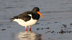 Oystercatcher 260117 (2) (Explored) (Richard Collier - Wildlife and Travel Photography) Tags: wildlife naturalhistory birds british britishbirds oystercatcher waders