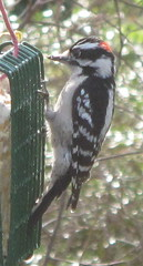 Downy Woodpecker (male); 20120301; US-VA-Virginia Beach (plantpollinator) Tags: piciformes picidae dryobatespubescens dryobates