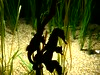 Lined Seahorse, Monterey Bay Aquarium, Monterey, California, USA (jimg944) Tags: linedseahorse seahorses seahorse montereybayaquarium montereybay monterey aquarium mba mbari california
