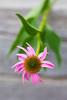 lake katherine. july 2016 (timp37) Tags: flower july 2016 summer lake katherine illinois palos heights