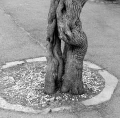 (MAGGY L) Tags: dmcfz200 bw noiretblanc arbres troncs rue trottoir trees paysbasque biarritz