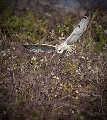 Hunting! (Albatross Imagery) Tags: nikkor d500 nikon photographer photo photography wildlifephotography wildlife flickr instagram bird birds raptors raptor birdsofprey birdofprey owls shortearedowl owl