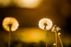 Dandelion Days... (J. Love Photography) Tags: dandelion flowers plant weeds light sun outdoors shine sunshine lightroom6 nikon d5300 85mm austin texas crestview yard urban macro macros