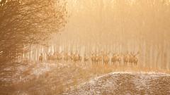 Edelherten in de winter III (Alex Verweij) Tags: edelherten hert herten deer stack gewei winter almere alex verweij canon 40d cold morning ochtend running bezoekerscentrum oostvaardersplassen wild nature natuur 200mm eos
