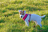 IMG_8161_web (hdenis67) Tags: annee alsace basrhin carnivores continentsetpays faune france jackrussellterrier natureetpaysage weislingen année2016 canidés fidèle lieu mammifère