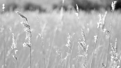 Sunshine on the Rye (TERRY KEARNEY) Tags: ryegrass grass fields monochrome blackandwhite shropshireunioncanal canoneos1dmarkiv canal daylight day explore europe england ellesmereportcheshire flickr kearney landscape nature oneterry outdoor sunshine skyline trees terrykearney wildlife weather 2017 towpath depthoffield field serene texture plant abstract water sunshineontherye