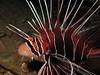 Lionfish (Lerotic) Tags: uw underwater egypt redsea scuba diving