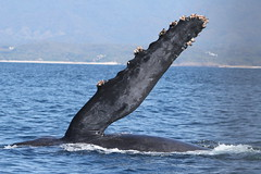 A Whale of a Greeting! :) (Paridae) Tags: whale whalefin whalegreeting humpback humpbackwhale megapteranovaeangliae whalesofmexico humpbackwhalesofmexico humpbackdisplay funinthesun afewofmyfavouritethings canoneos7d baleenwhale