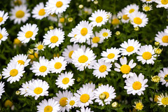 Catching Some Rays (JapanDave) Tags: daisies daisy flowers nature white yellow デイジー 花 黄色