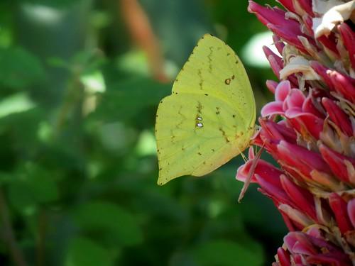 Butterfly on bromelia (Pieridae) Phoebis neocypris.